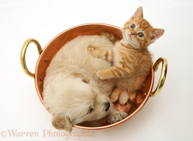Golden Retriever pup and red spotted British Shorthair kitten in a copper pan, white background