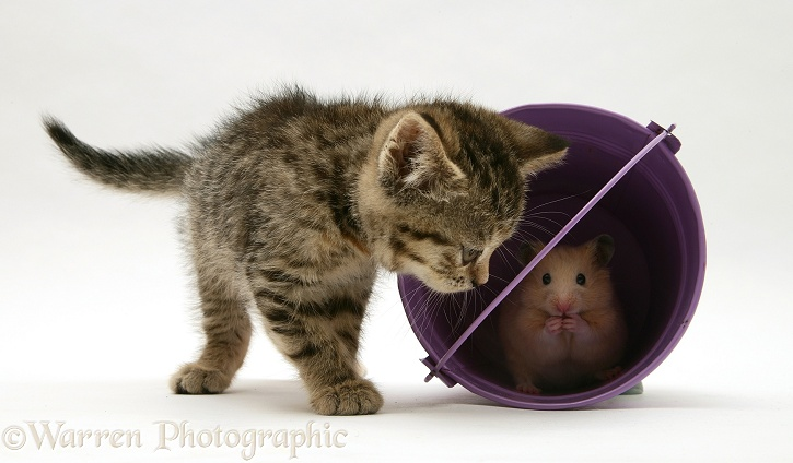 Kitten playing with hamster in a toy bucket, white background