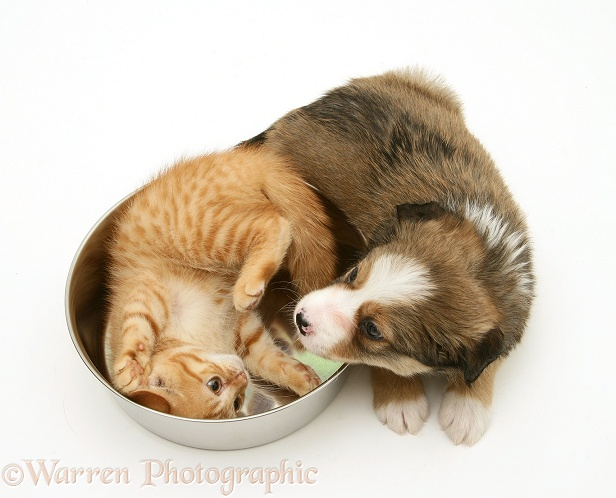 Sable Border Collie pup and red spotted British Shorthair kitten with metal food bowl, white background