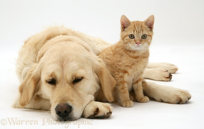 Golden Retriever, Lola, and cream kitten, white background