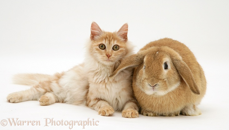 Red silver Turkish Angora cat and sandy Lop Rabbit snuggled together, white background