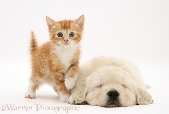 Red tabby kitten with paw up on sleeping Golden Retriever pup, white background