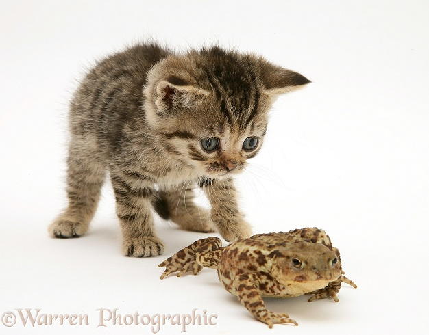 Tabby kitten and toad, white background