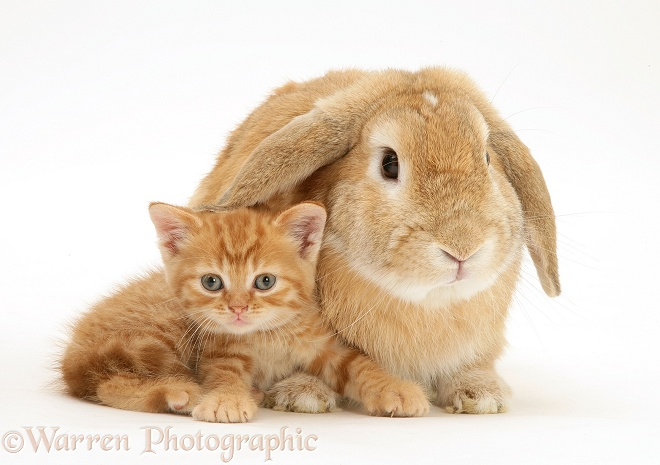 British Shorthair red-spotted kitten with sandy Lop rabbit, white background