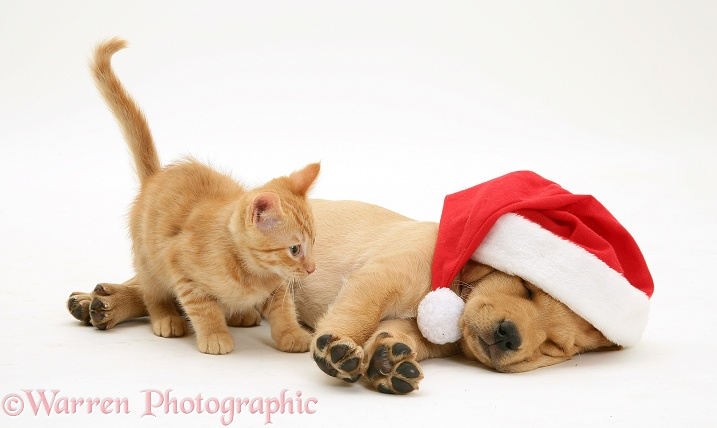 Young ginger cat Sparkle and sleeping Golden Retriever pup in Santa hat, white background