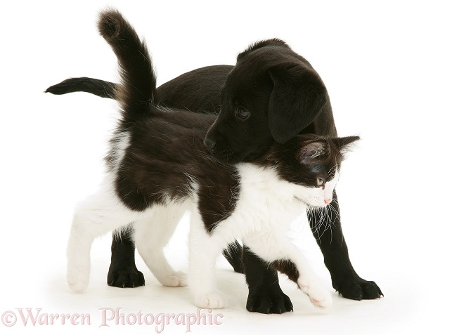 Black Labrador Retriever pup, 8 weeks old, with black-and-white kitten