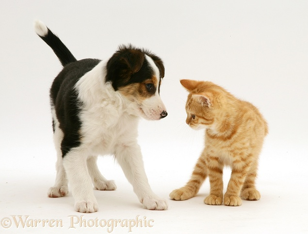 British Shorthair red tabby kitten with tricolour Border Collie pup, white background