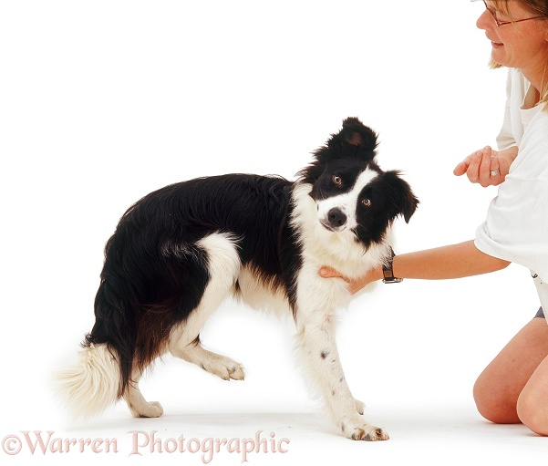 Border Collie Tai showing 'scratching reflex' when spot on his chest is stimulated, white background