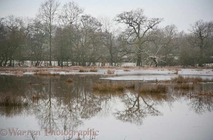 Flooded meadow with oak and ash trees