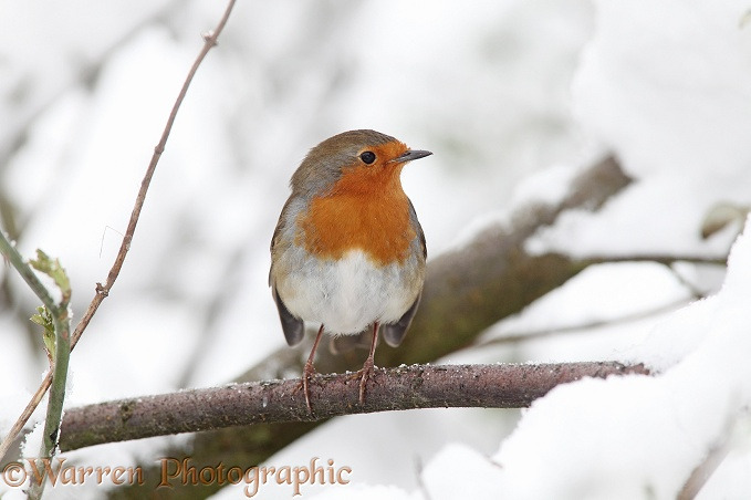 European Robin (Erithacus rubecula) in snow.  Europe