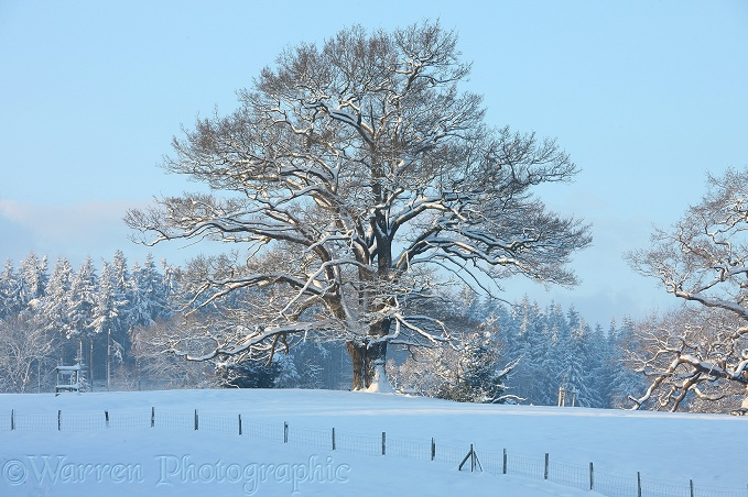 Oak tree with snow in Albury Park.  Surrey, England