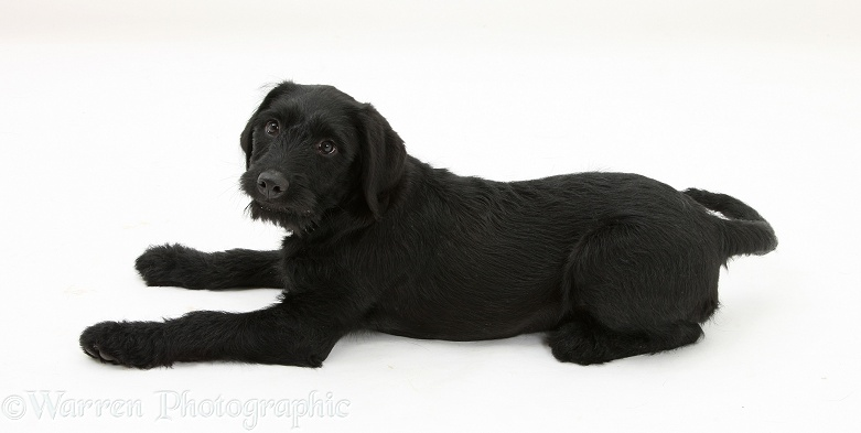 Black Labrador x Portuguese Water Dog pup, Cassie, white background