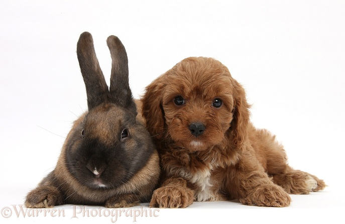 Seal-point rabbit and Cavapoo pup, 6 weeks old, white background
