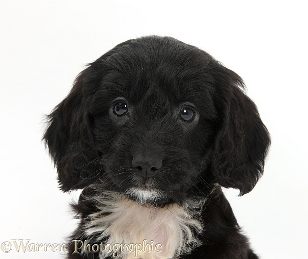 English Cockapoo pup, 6 weeks old, white background