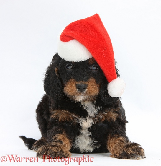 English Cockapoo pup, 6 weeks old, wearing a Father Christmas hat, white background