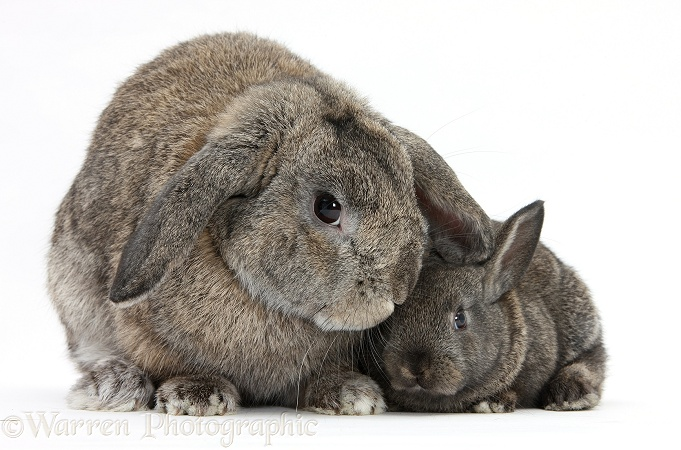 Adult Lop and baby agouti rabbits, white background