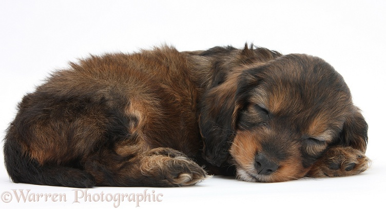 Sleeping English Cockapoo pup, 6 weeks old, white background
