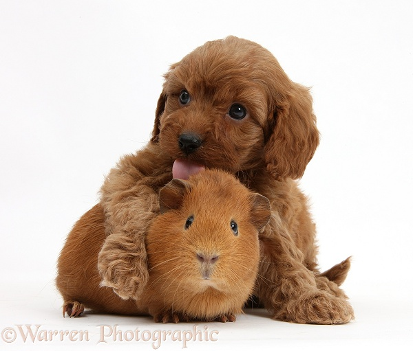 Cavapoo pups, 6 weeks old, and red Guinea pig, white background