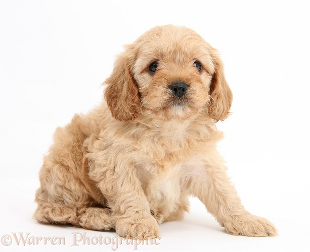 Cavapoo pup, 6 weeks old, white background