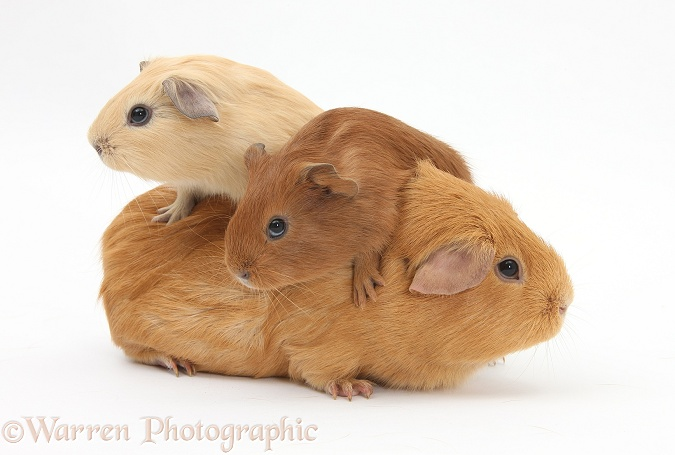 Mother Guinea pig with two babies riding on her back, white background