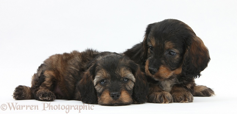 English Cockapoo pups, 6 weeks old, white background