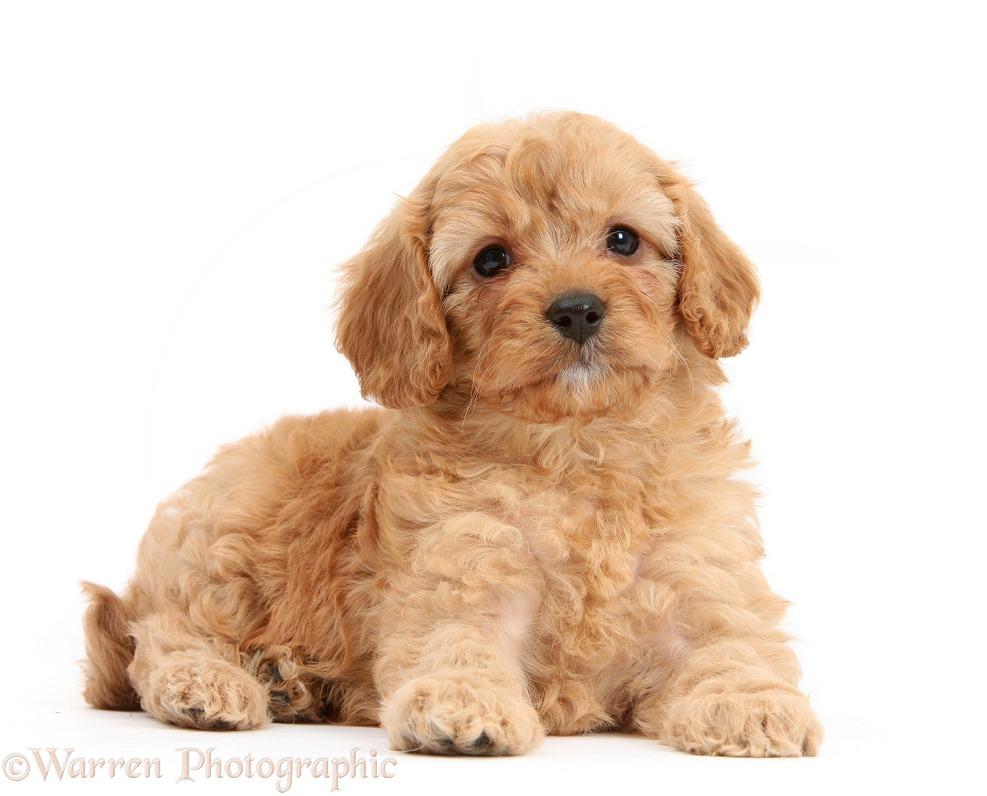 Dog: Cavapoo pup, 6 weeks old photo - WP22860: www.warrenphotographic.co.uk/22860-cavapoo-pup-6-weeks-old