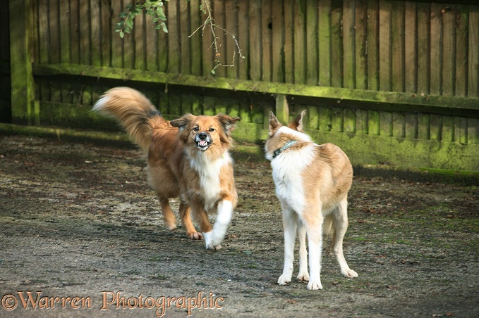 Border Collies, Bliss and Zebedee, in confrontation