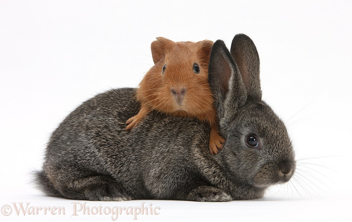 Baby agouti rabbit and baby red Guinea pig, white background