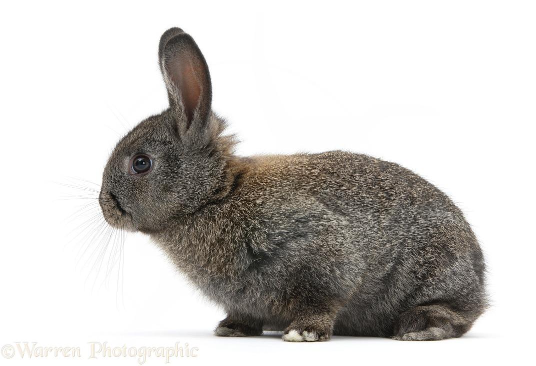 Baby agouti rabbit photo WP22879