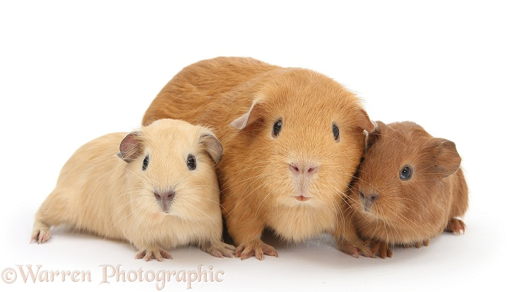 Mother Guinea pig with two babies, white background
