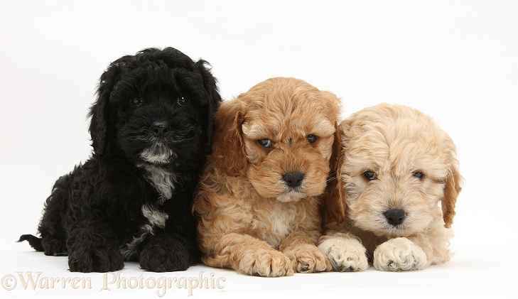 Two golden and one black Cockapoo pups, white background