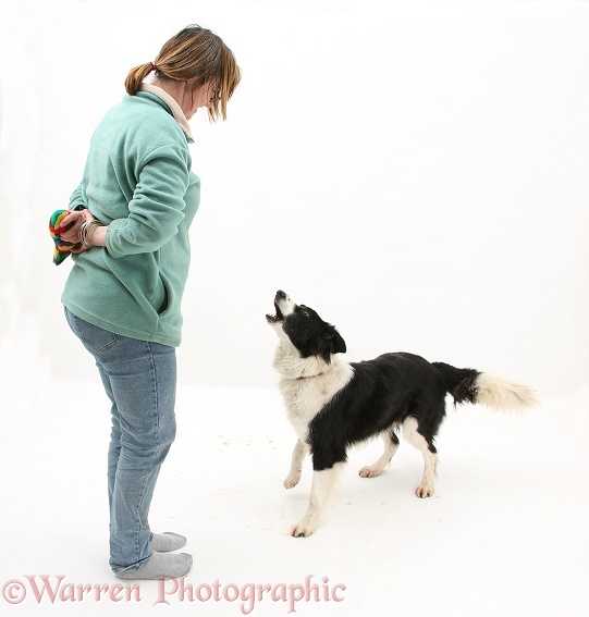 Black-an-white Border Collie barking at owner, white background