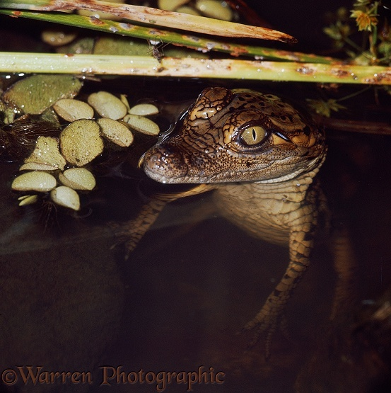 Young Nile Crocodile (Crocodylus niloticus) coming to the water's surface