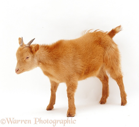 Young Pygmy x Golden Guernsey goat, white background