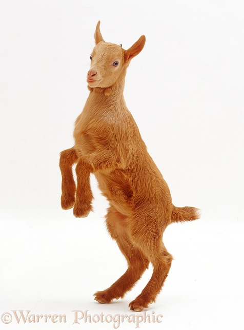 Pygmy x Golden Guernsey female goat kid, standing on hind legs, white background
