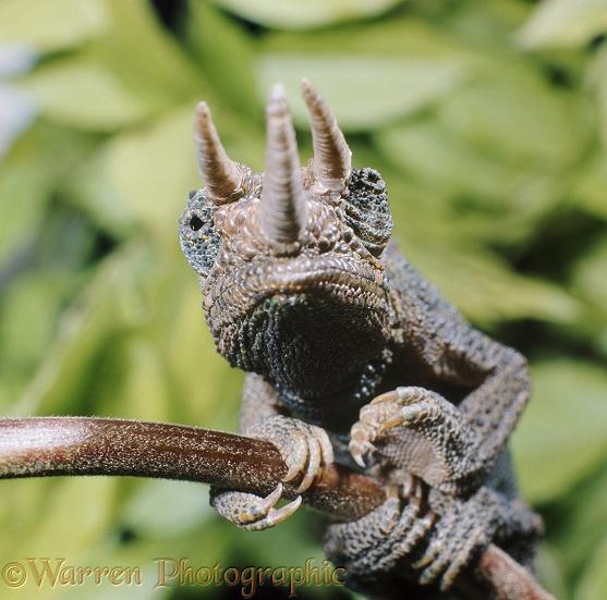 Chameleon Horns: Jackson's Chameleon Photo WP22938