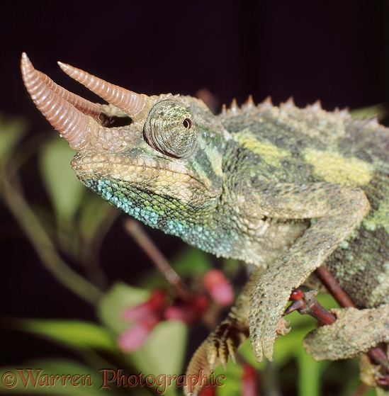 Jackson's or Three-horned Chameleon (Chamaeleo jacksonii) male
