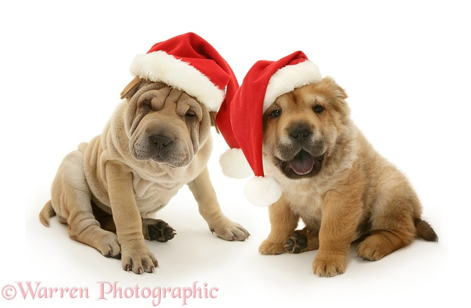 Shar-pei pups wearing Father Christmas hats, white background
