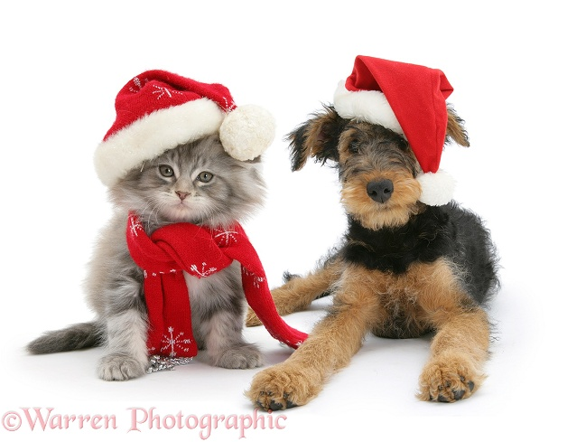 Maine Coon kitten and Airedale Terrier bitch pup, Molly, 3 months old, wearing a Father Christmas hats, white background
