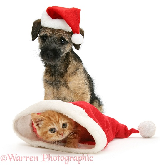 Border Terrier pup, Kes, and Ginger kitten in Father Christmas hats, white background
