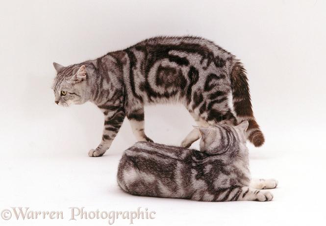 Encounter between two yowling male cats photo WP22948