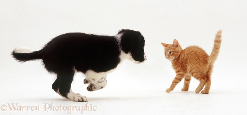 Playful Border Collie x New Zealand Hunterway puppy, Zak, about to be put in his place by Red Spotted kitten, both about 9 weeks old, white background