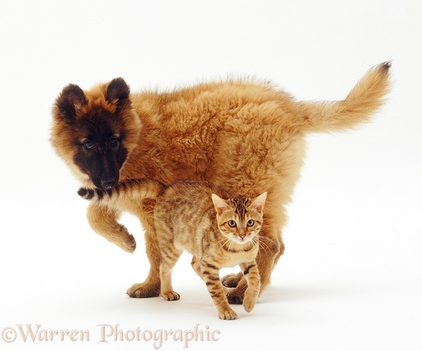 Belgian Shepherd puppy and Bengal kitten