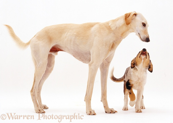 Border Collie pup licking nose in submission on meeting adult Saluki Lurcher, Swift, white background