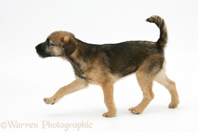Border Terrier bitch pup, Kes, walking, white background