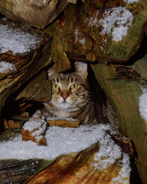 Tabby cat, hating the cold and snow, taking refuge among log pile