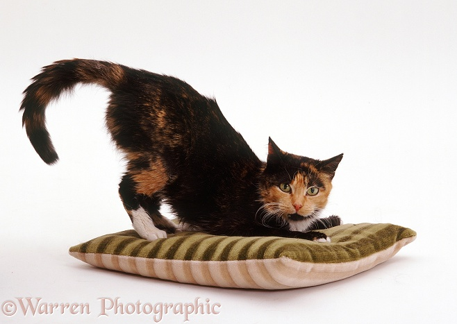 Tortoiseshell cat Tortie-Toes on a cushion, white background