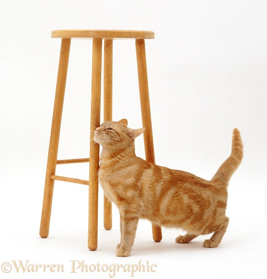 Ginger female cat Lucky in oestrus, face-rubbing against a tall stool, white background