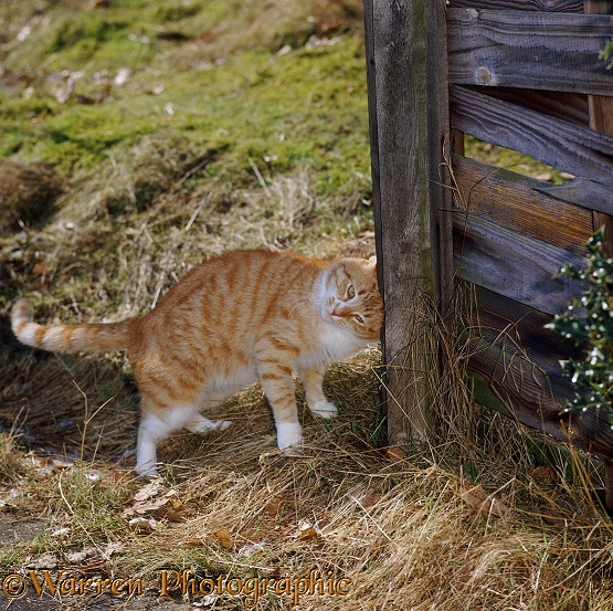 Ginger cat chinning and head-butting a fence
