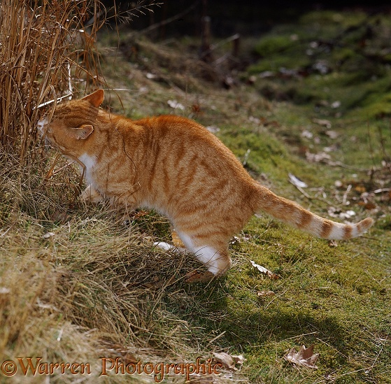 Old ginger male cat sniffing where another tom cat has scent-marked